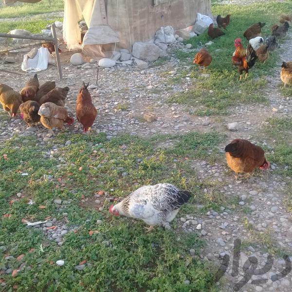 دام وتخم مرغ محلی|عمده فروشی|دزفول|دیوار