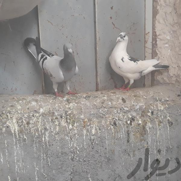 پلاکی ب شرط روجوجه ان پرنده بروجرد دیوار