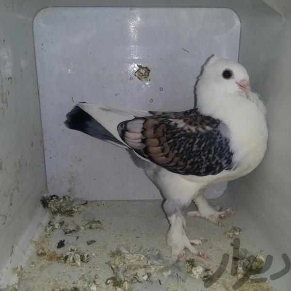 کبوتر ساتن(بلژیکی)|پرنده|اصفهان مشتاق سوم|دیوار