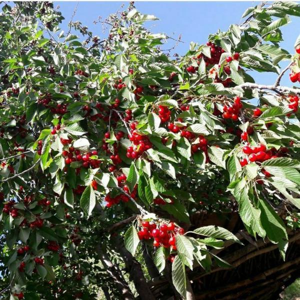 باغ میوه فروشی...|زمین و کلنگی|همدان|دیوار
