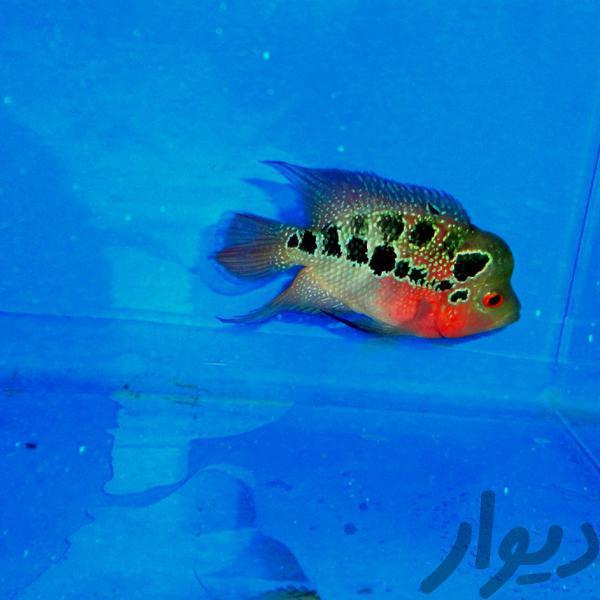 ماهی فلاور ایرانی عمده فروشی اصفهان مبارکه دیوار