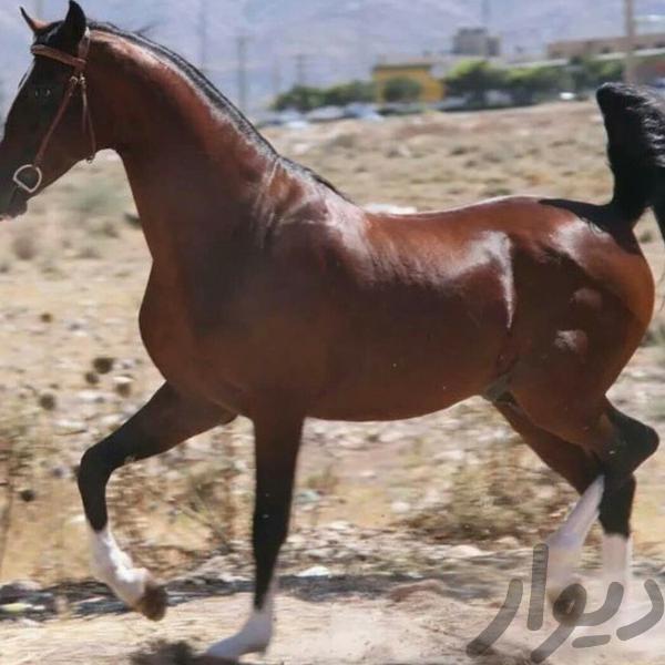اسب کرد اسب و تجهیزات اسب سواری کرمانشاه دیوار