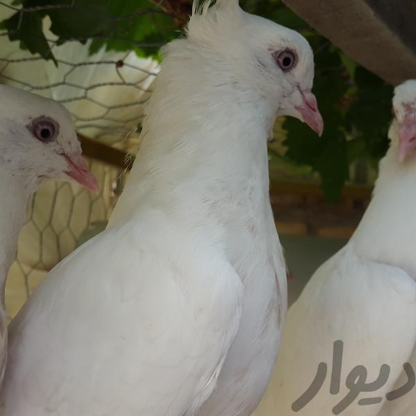 کبوتر فروشی|پرنده|اراک|دیوار