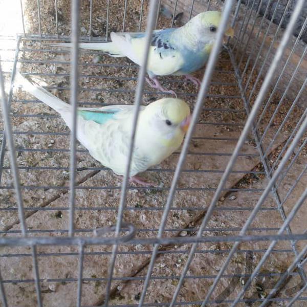 جفت مرغ عشق  گناوه|پرنده|بوشهر|دیوار
