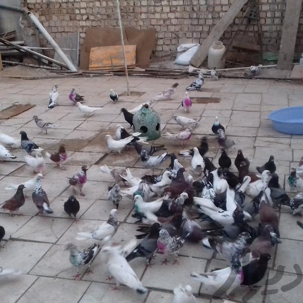 کبوتر ساعتی پرنده قم امامزاده ابراهیم دیوار