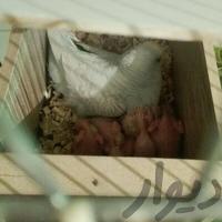 خریدار مرغ عشق جفتی|پرنده|شیراز_مرودشت|دیوار