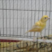 معاوضه قناری نر با سهره|پرنده|دزفول|دیوار