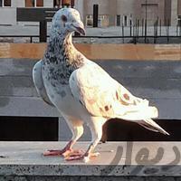 جفت سرور کاکل میخ پرنده مشهد_وکیل آباد دیوار