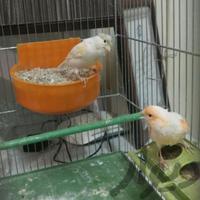 ی جف قناری مولد گلستر|پرنده|تهران_يافتآباد|دیوار