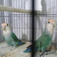 جفت وایت فیس مولد و عالی|پرنده|تهران_ورامین|دیوار