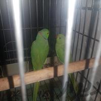 طوطی ملنگو جفت مولد|پرنده|تهران_تهرانسر|دیوار