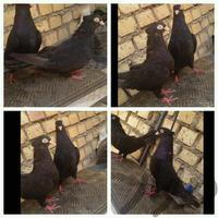 سیاه.زاغ.جفت.امیدیه|پرنده|آبادان|دیوار