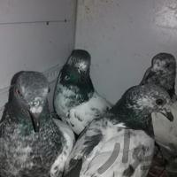 کبوتر پاکستانی|پرنده|بندرعباس|دیوار