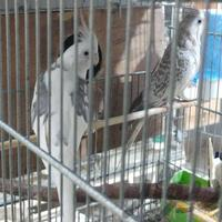 طوطی مولد(عروس هلندی)|پرنده|اهواز_کیانپارس |دیوار
