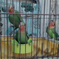 سه تا طوطی کوتوله سبز صورت هلویی|پرنده|اهواز_کوی رمضان|دیوار