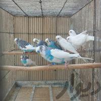 مرغ عشق نهاوند|پرنده|همدان|دیوار