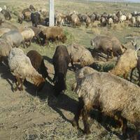 فروش گوسفندجوان|حیوانات مزرعه|سبزوار|دیوار
