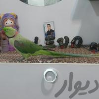شاه طوطی سخنگو چلوندنی فوق العاده|پرنده|اهواز_کمپلو جنوبی (کوی انقلاب)|دیوار
