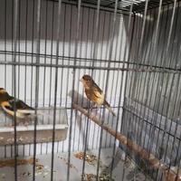 قناری ماده آماده ۲ عدد|پرنده|تهران_تهرانپارس شرقی|دیوار