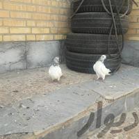 شیخ ابری درجه ۱|پرنده|بندر ماهشهر|دیوار