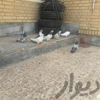 کفتر پرشی شرطی|پرنده|بندر ماهشهر|دیوار