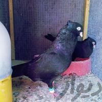 کبوتر سیاه|پرنده|بندر ماهشهر|دیوار