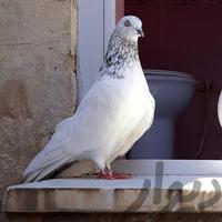 ماده شیخ|پرنده|بندر ماهشهر|دیوار