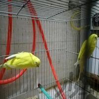 مرغ عشق هلندی با جوجه|پرنده|بندر ماهشهر|دیوار