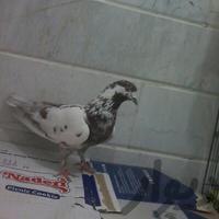 کبوتر|پرنده|قم_بلوار ۱۵ خرداد|دیوار