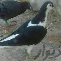 ساده|پرنده|مشهد_کاشمر|دیوار