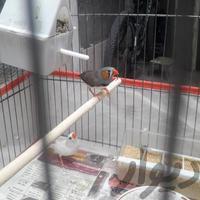 یه جفت فنج فنچ با جوجه و قفس و وسایلش|پرنده|قم_توحید|دیوار