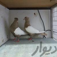 جفتگاه سینه|پرنده|قم_امام|دیوار