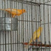 جفت قناری و تعدادی قناری فروش یا معاوضه|پرنده|شیراز_دلگشا|دیوار