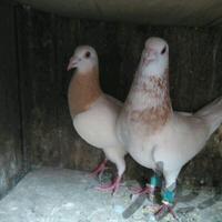 نروماده سرور اصل|پرنده|شیراز_تاچارا|دیوار
