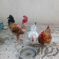 مرغ و خروس فروشی|حیوانات مزرعه|قزوین|دیوار