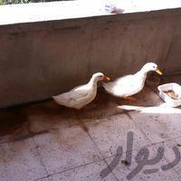 اردک سالم|حیوانات مزرعه|کرمانشاه|دیوار