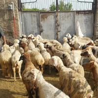 میش و بره|حیوانات مزرعه|کرمانشاه|دیوار