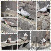 کبوترهای مغلف و بالغ،اطراف تاکستان|پرنده|قزوین|دیوار