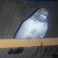 نر کله دم سبزکاشون و ماده یه سرپاکستانی|پرنده|اصفهان_فولادشهر|دیوار