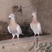 جفت کبوتر کرم سوسنی|پرنده|شیراز_بلوار رحمت|دیوار