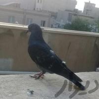 جوجه کفتر یا کبوتر|پرنده|تهران_افسریه|دیوار