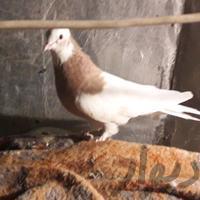 کفترطوقی طوق زرد دوبردار دارم نر کاکل ساده|پرنده|شیراز_میانرود|دیوار