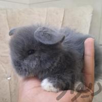 خرگوش مینی لوپ فوقالعاده اصیل|موش و خرگوش|شیراز_بلوار فضیلت|دیوار