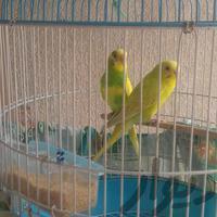 مرغ عشق رام وجفت|پرنده|کرمانشاه|دیوار